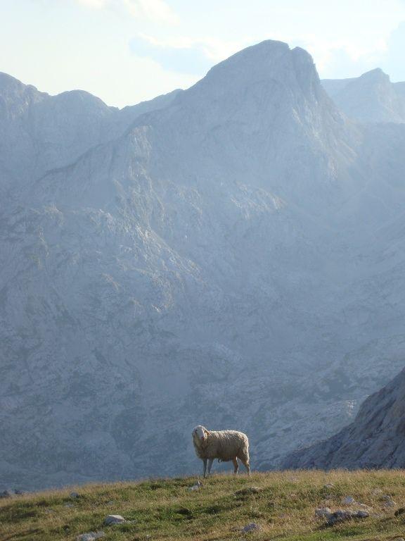 Owca u stóp gór