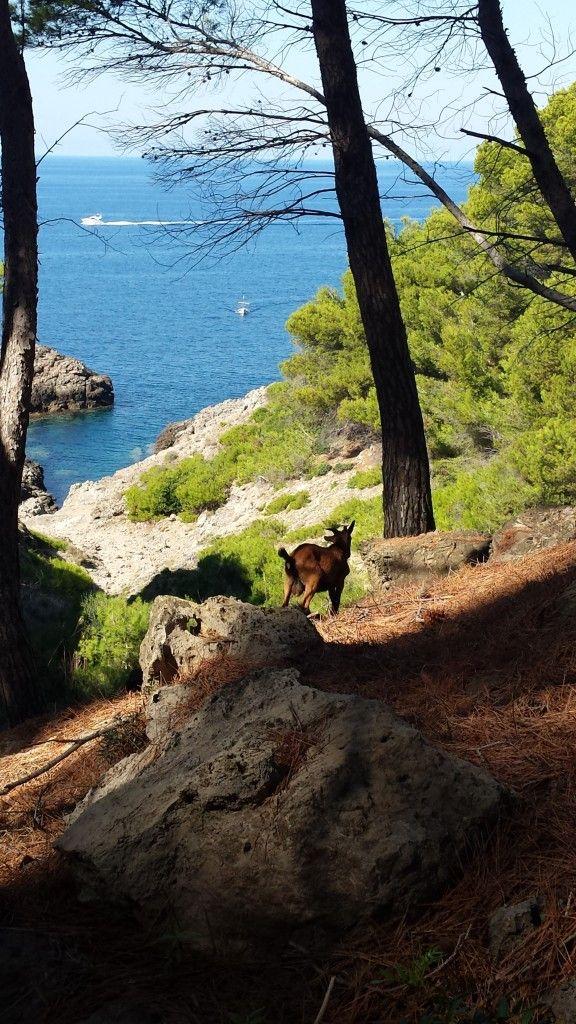 Dzikie kozy na Majorce