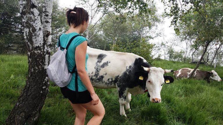 Piemont krowa