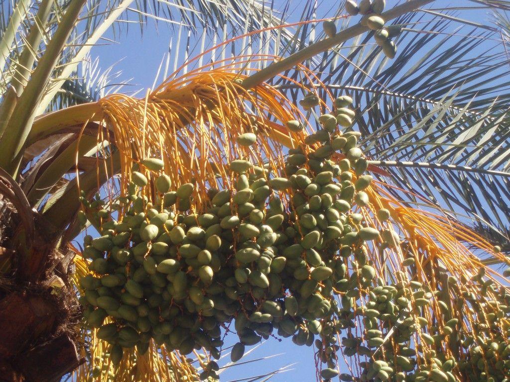 Port de Soller palma daktylowa
