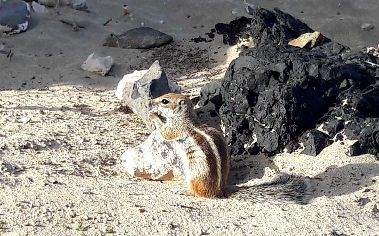 marokańska wiewiórka na plaży